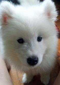 Mochi the Samoyed puppy - beautiful