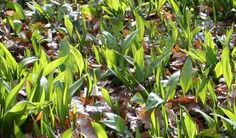 Karhunlaukka - Allium ursium