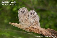 Two barred owl fledglings outside nest