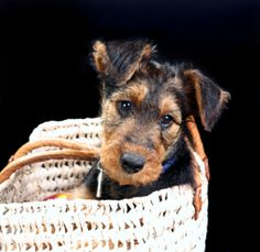 Airedale terrier  this is what my Haley looked like when she was a pup
