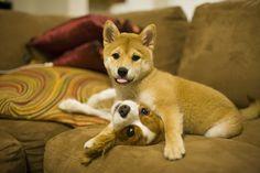 Shiba Inu and Cavalier
