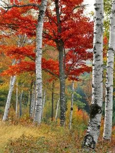 size: Photographic Print: Forest of Birch and Maples in Autumn Colors, Wyman Lake, Maine, USA by Jaynes Gallery : Fine Art Birch Forest, Lake Forest, Birch Trees, Autumn Forest, Forest Photography, Landscape Photography, Landscape Photos, Scenic Photography, Photography Tips