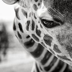 Beautiful Black & White Giraffe
