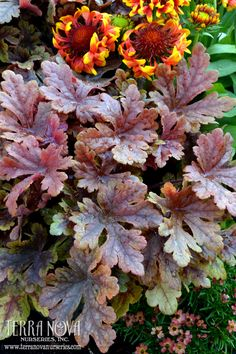 Heucherella 'Buttered Rum' - Caramel-dipped, deeply-cut maple leaves adorn this aptly named plant from spring to summer. In fall, the cool weather burnishes the leaves to a lovely rose red - a perfect complement to fall-planted containers. Grows into a medium sized mound that's perfect in the landscape. Try it in a vertical planting with contrasting purple-leaved varieties of Heuchera.