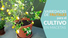 Árboles frutales que se pueden cultivar en macetas