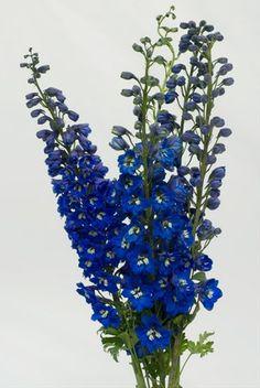 Hybrid Dark Blue - Delphinium - Flowers and Fillers - Flowers by category | Sierra Flower Finder