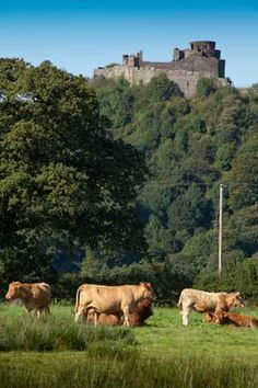 The 12 century Dinefwr Castle overlooking the river Tywi in Carmarthenshire, Wales