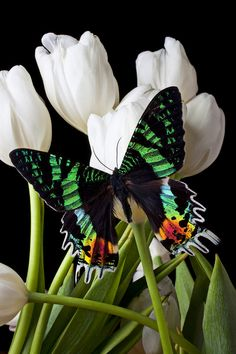 Madagascar Butterfly on White Tulips - This is a real butterfly. But this is a great idea for a butterfly on a stick use the color of the foliage for the color of the stick so it will blend in Beautiful Bugs, Beautiful Butterflies, Beautiful Flowers, Butterfly Kisses, Butterfly Flowers, Green Butterfly, Rainbow Butterfly, Mariposa Butterfly, Flowers Pics