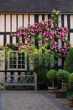 Wollerton Old Hall, Shropshire: South wall of the house with wooden bench and rosa 'zepherine drouhin'