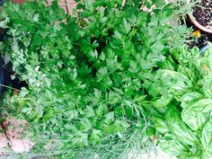 Erb Love! Parsley, Herbs, Canning, Home Canning, Herb, Conservation