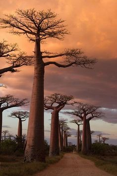 Avenue of the Baobabs, Madagascar Follow FOSTERGINGER@ PINTEREST for more pins like this. NO PIN LIMITS. Thanks to my 22,000 Followers. Follow me on INSTAGRAM @ ART_TEXAS