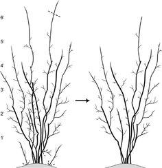 Figure 2: Cane renewal of rabbiteye blueberries 6 feet and taller.