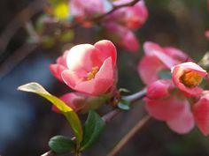 pink -- looks like japonica