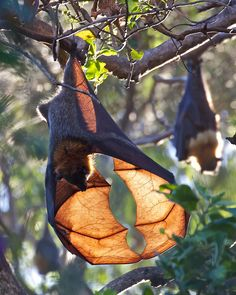 Fruit Bat. I have no idea what s/he\'s investigating, but it definitely looks cool.