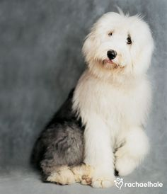 Nelson (Old English Sheepdog) - Nelson has truly beautiful eyes when you get to see them.