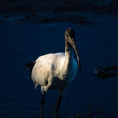 Ibis by Moonlight by Mr. Bennett Kent