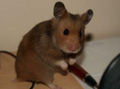 Mink (color) Syrian Hamster