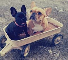 ...taking my two frenchies for a wagon ride!...