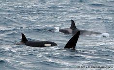 """25-5-2015, Orcas in Breiđarfjörđur, Iceland by Láki Tours. """"Boromir""""(SNO44) and """"Faramir""""(SNO45) with family."""