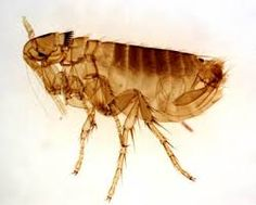 The first step in preventing or getting rid of fleas is to understand these little critters. The more you know about them, the more capable you will be to set up the proper line of defense.