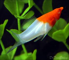 Buy aquarium fish care products, accessories and fish tank decorative items with best price at Dogspot online shop. Find products to maintain aquarium for healthy fish. Tropical Fish Aquarium, Freshwater Aquarium Fish, Aquascaping, Swordtail Fish, Goldfish For Sale, Fishing World, Fly Fishing, Fishing Pliers, Fish Care