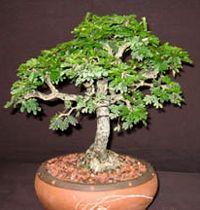 Texas Ebony Bonsai Tree - Pithecellobium flexicaule