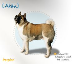 Did you know the Japanese Akita was introduced to the United States by Helen Keller, who was impressed with the Akita's loyalty?  A young Akita police officer instructor who owned the dogs presented Helen Keller with an Akita pup in 1937, and since then the breed has enjoyed relative popularity in America.