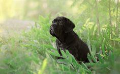 壁紙をダウンロードする サトウキビ跡など, 黒子犬, 小型犬, 犬の草, かわいい子犬