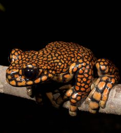 Prince Charles Stream Tree Frog (Hyloscirtus princecharlesi) #Frog