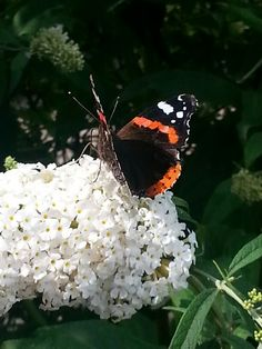 Genieten v/d vlinderstruik bij ons in de tuin
