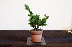 部屋の画像 by Kさん   部屋と石化檜と盆栽