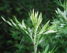 Artemisia Absinthium, Wild Nature, Predator, Weed, Flowers, Plants, Wolves, Life, Wolf