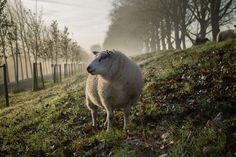 Wypas owiec zdecydowanie coraz mniej opłacalnym interesem, a dodatkowo {mamy do czynienia ze możemy mówić o starzejącym się społeczeństwie, natomiast młodsze pokolenie nie pcha się, żeby iść śladami starszych baców. Nie można też zapomnieć coraz bardziej rygorystycznych przepisów, które dotyczą hodowli tych wyjątkowych zwierząt, a przecież nie od dzisiaj krąży opinia, że owca jest nazywana ekologiczną kosiarką.
