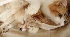 フェネックを我が子のようにかわいがるメインクーン猫の姿にほっこり*
