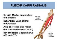 flexor carpi radialis origin and insertion - Google Search