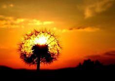 Dandelion in Sunset glow wurde in Deutschland, Schluchsee aufgenommen und hat folgende Stichwörter: Sonne,  Sonnenuntergang,  Sunset.