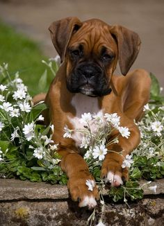 Tips About Your Boxer Puppies Boxer Puppies, Cute Puppies, Cute Dogs, Dogs And Puppies, Doggies, Boxer And Baby, Boxer Love, Beautiful Dogs, Animals Beautiful