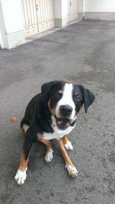 Lenny Appenzeller Sennenhund | Pawshake Freimann