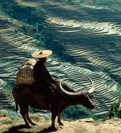 Man on a water buffalo overlooking terraced rice paddies, Yunnan province, China.  Yann Layma—Stone/Getty Images