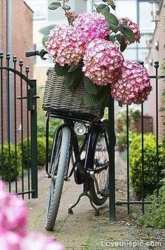 Hydrangeas in Bicycle Basket photography vintage flowers bike basket hydrangeas