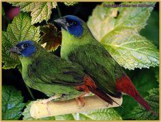 Papuan parrotfinch (Erythrura papuana)