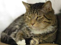 Adopted/rescued! TO BE DESTROYED 1/23/15 *NYC* Stressed in the shelter and healthy...listed for being scared! ** Manhattan Center ** Millipede tolerates attention and petting but may be stressed in the shelter, and may be intimidated by small children. Please foster, adopt or pledge to save this beautiful boy now! *   My name is MILLIPEDE. My Animal ID # is A1025529. I am a male blk tabby and black dom sh mix. I am about 2  I came in as a STRAY on 01/15/2015 from NY 10469, OWN EVICT.