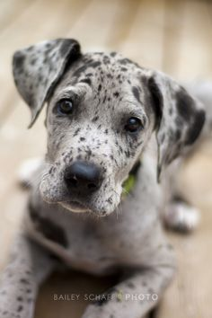 Cutest Great Dane Puppy Ever