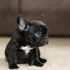 The major breeds of bulldogs are English bulldog, American bulldog, and French bulldog. The bulldog has a broad shoulder which matches with the head. Mini French Bulldogs, French Bulldog Puppies, Cute Dogs And Puppies, Frenchie Puppies, French Bulldog Blue, Doggies, Pet Dogs, Corgi Puppies, English Bulldogs