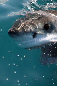 We operate in Gansbaai in the Western Cape, a world hotspot for the Great White shark, where you will experience an incredible cage-diving adventure on board our custom designed boat, Slashfin (named after one of our visiting sharks). Megalodon, Orcas, Beautiful Creatures, Animals Beautiful, Save The Sharks, Shark Photos, Shark Bait, Wale, Great White Shark