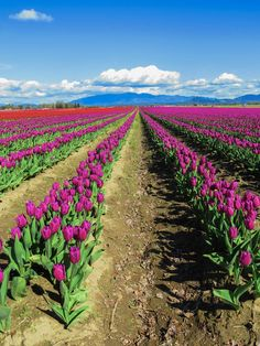 Skagit Valley Tulip Festival in Washington state. Click through to read our guide to visiting: http://mytanfeet.com/pacific-northwest/skagit-valley-tulip-festival-washington/