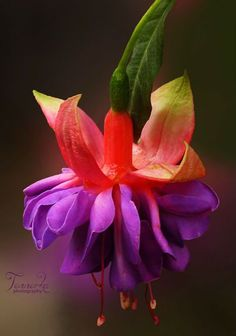 Multi-Colored Fuchsia