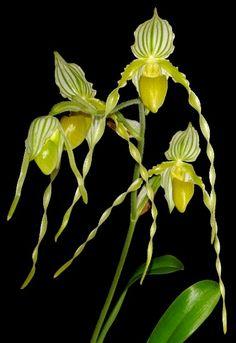 Paphiopedilum philippinense orchid
