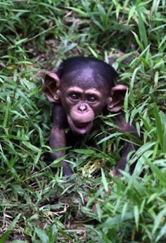SMALL monkey with LARGE ears!