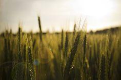 Weizenfeld im Sonnenuntergang